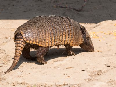 Euphractus-sexcintus